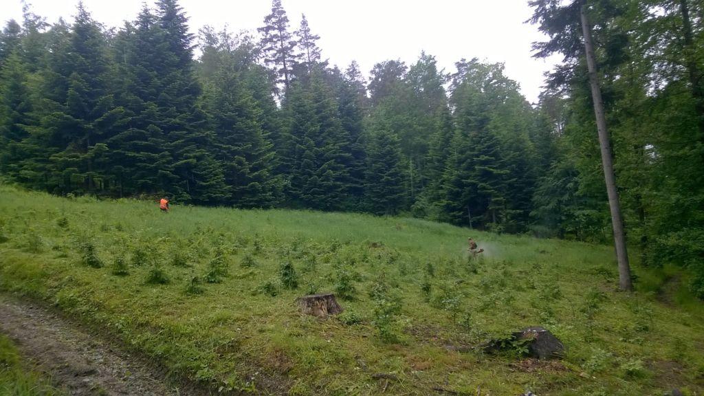 Pielęgnacja upraw leśnych